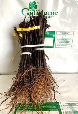 Root Stock 110R 'Richter'