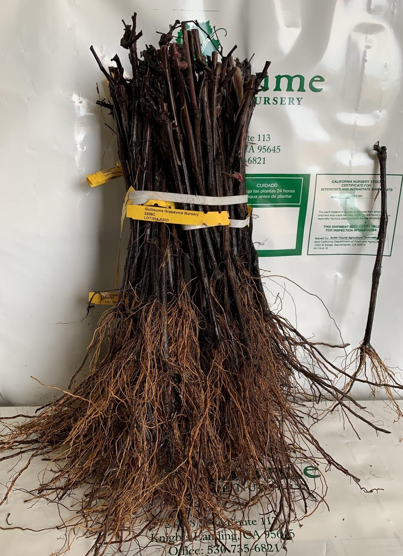 Root Stock 3309C 'Courdec'
