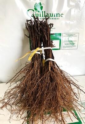 Root Stock 101-14 'Millardet et de Grasset'
