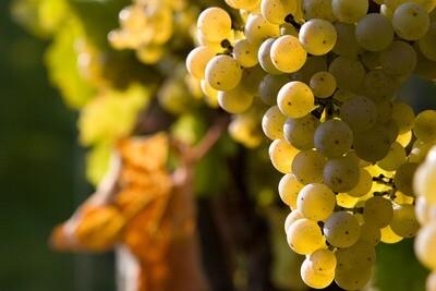 Pinot Blanc 54 on 101-14 12inch Super-Pot
