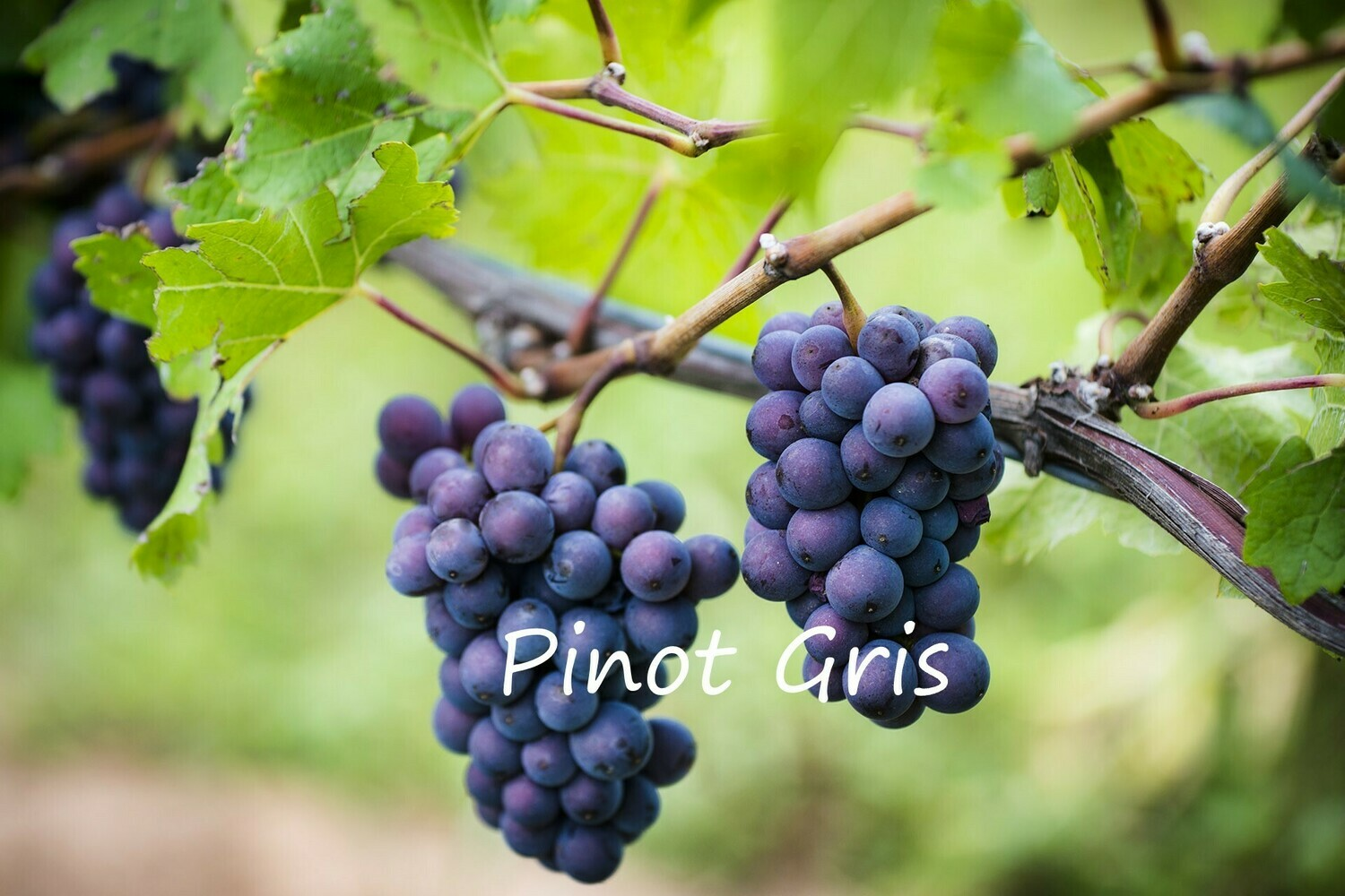 Pinot Gris 52 on 101-14 12inch Super-pot