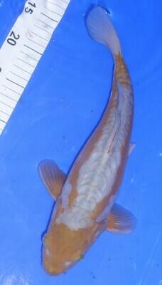 Breeder - Yoshikigoi. Doitsu Ochiba . 34 - 35cm