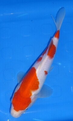 Breeder - Sakuma. High Grade Tosai . Kohaku. 24 - 25cm