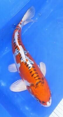 Breeder - Yama. Doitsu Kujaku. 36 - 37cm.£275