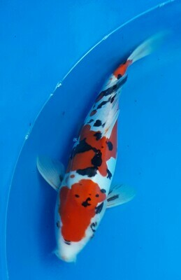 Breeder - Yama.  Doitsu Sanke. 32 - 34cm.Reserved Mr P