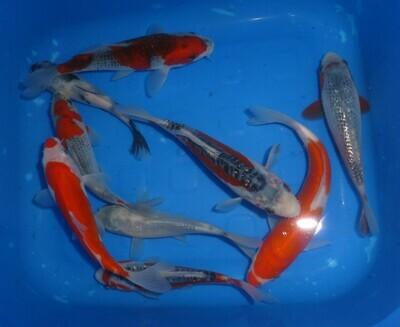 Breeder - Tan San. High Quality Tosai Mix. 14 - 16cm.Special Mix Offer £55 - £69 Each