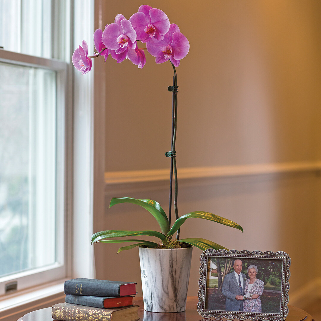 Single Stem Orchid Plant