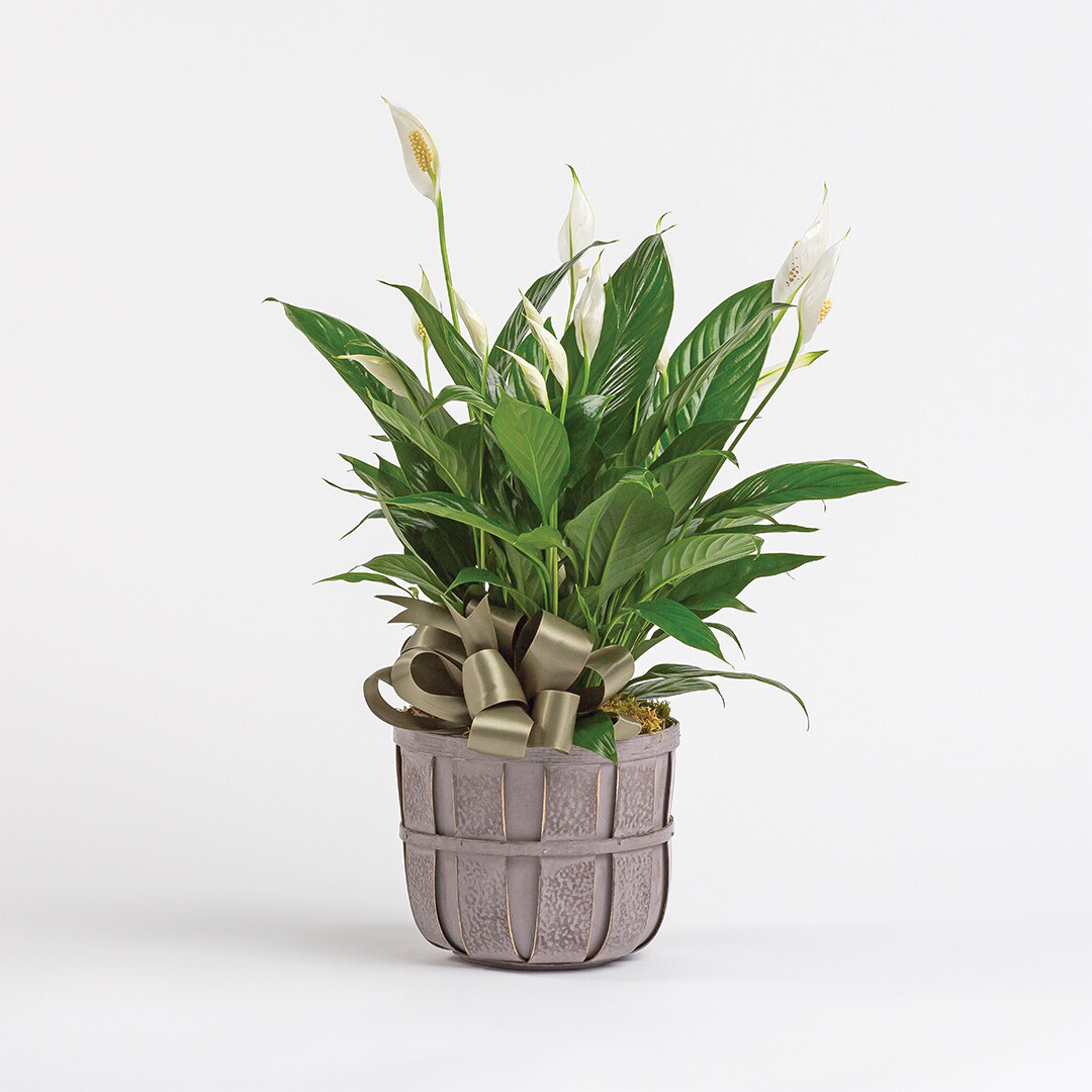 Tabletop Peace Lily Plant