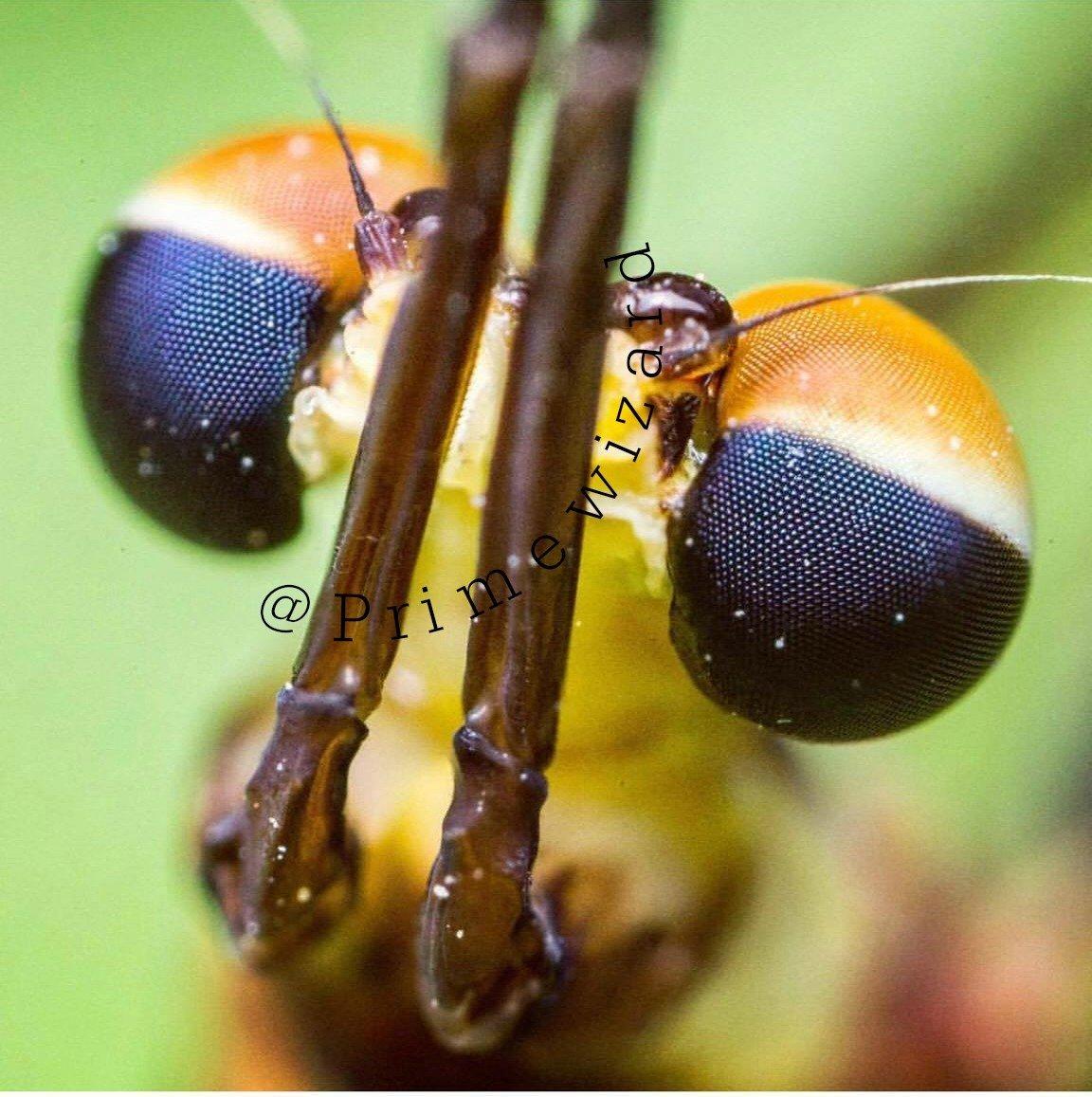 Mayfly Compound Eye Super Macro