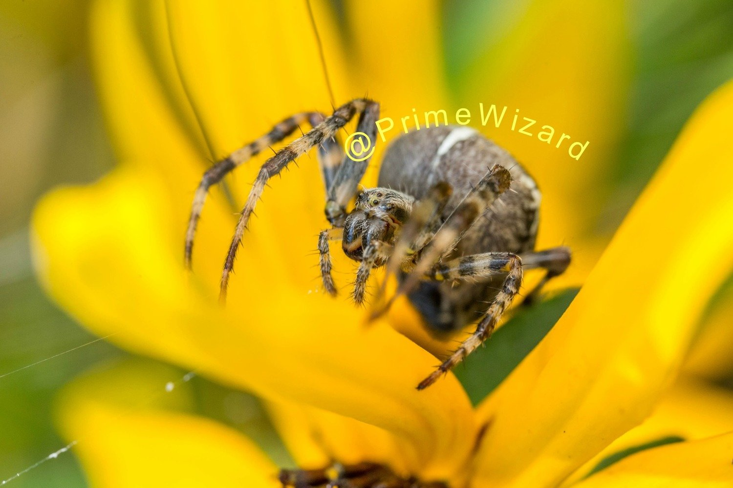 Orb Weaver by Primewizard