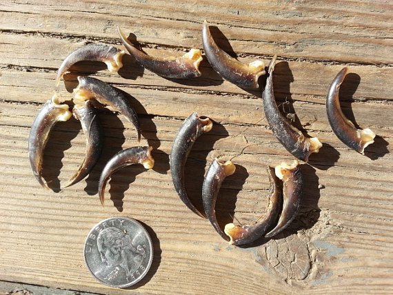 Porcupine Claws