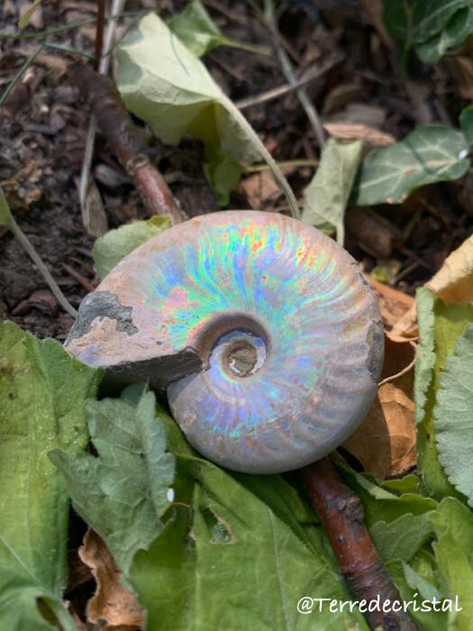 Ammonite nacrée