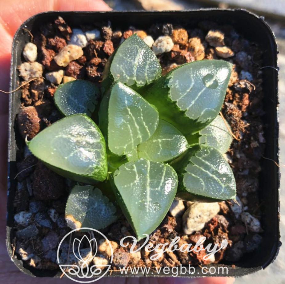 "Haworthia cv 'Tuki Kage' Succulent Plant in 3""Pot"