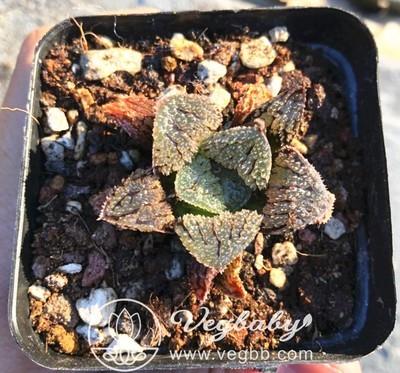 Haworthia '구미성' ハオルシア  具味城 Rare Succulent Plant in 3