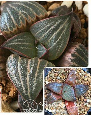 "Haworthia ""Love"" Splendens Rare Succulent Plant in 3"" Pot"