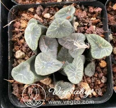 "Haworthia Maughanii Setsugetsuka Succulent Plant in 4"" Pot"