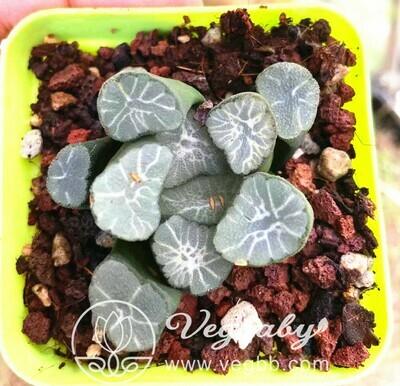 Haworthia Maughanii 'Hagoromo' Succulent Plant in 3