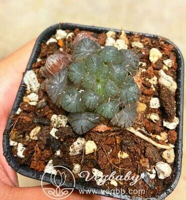 """Haworthia Obtusa Cooperi Rare Succulent Plant in 3""""Pot"""