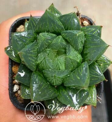 "Haworthia Sansenjyu (Haworthia Obtusa × Comptoniana) Adult Plant Rare Succulent Plant in 3""Pot"