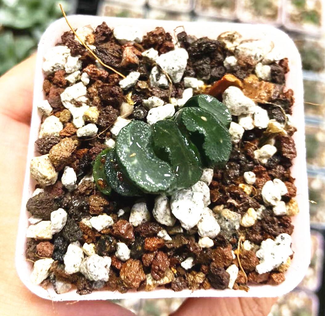 """Haworthia Truncata 'Sharaku' Succulent Plant in 3""""Pot"""