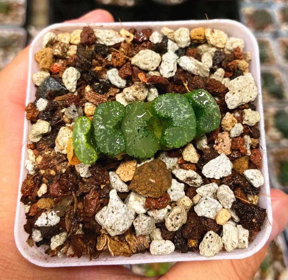 "Haworthia Black Wouters Truncata Off Spring Rare Succulent Plant Size 1-1.5"""