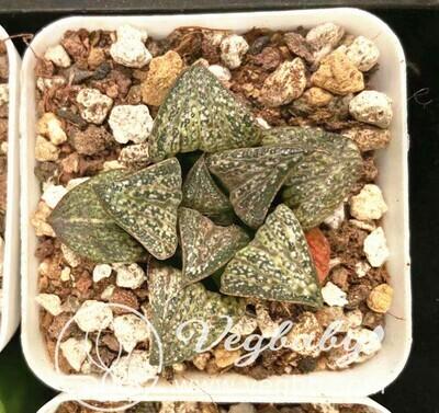 Haworthia splendens スプレンデンス 花葵 Rare Succulent Plant in 3