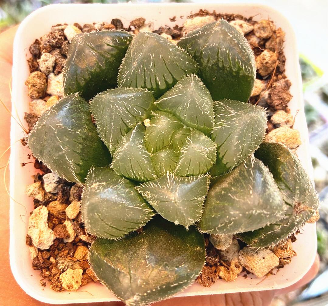 "Haworthia Cooperi Mochi Gyokuro Rare Succulent Plant in 3""Pot"