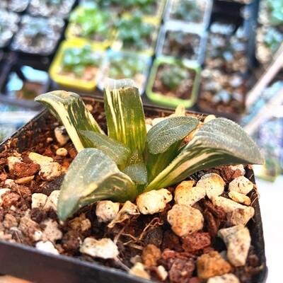 """Haworthia Cupid Correcta Variegated Rare Succulent Plant in 3"""" Pot"""