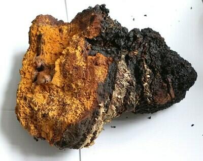 Chaga Essénien en poudre