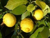Citron (Italie)