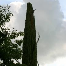 Cyprès toujours vert