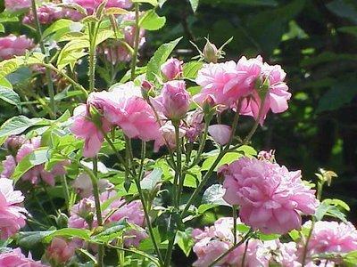 Rose de Damas premium