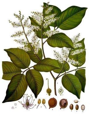 Copahu (copaiba)