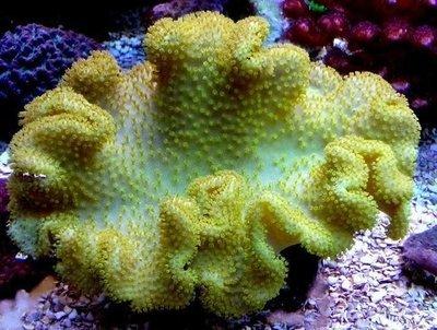 Yellow Fiji Leather Coral