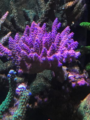 FT Independence Millipora  ( Blue with Red polyps )