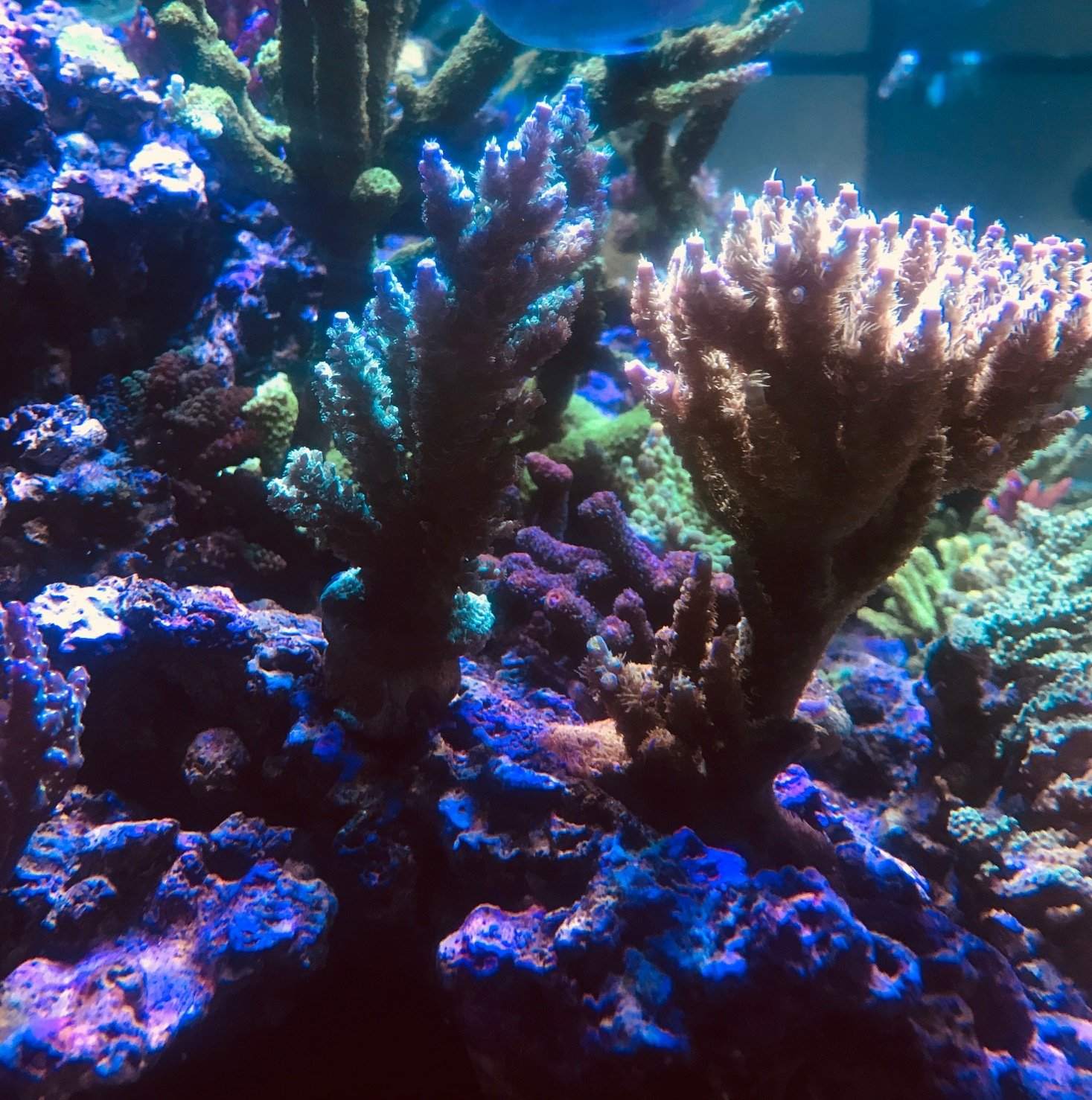FT Fuzzy Wuzzy Acropora Tenuis ( to the left of the Walt Disney Acropora )
