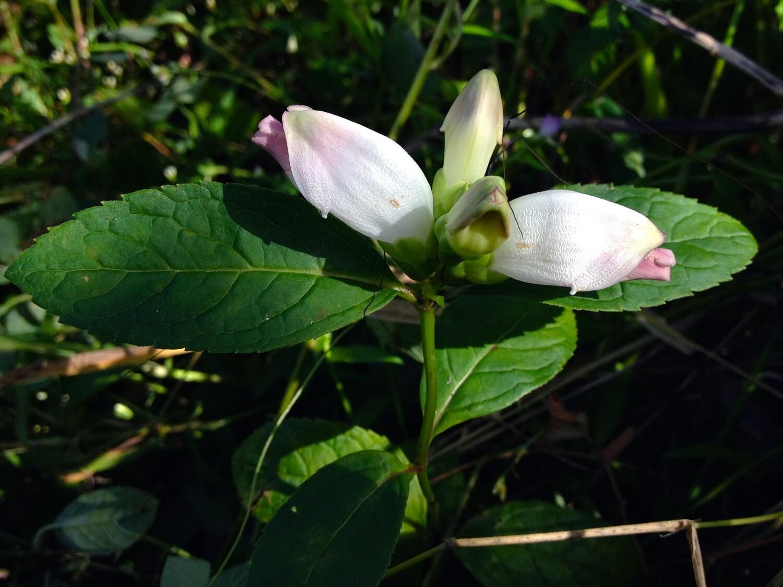 White Turtlehead - Chelone glabra
