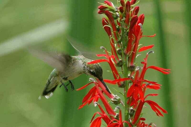 Cardinal Flower - Lobelia cardinalis