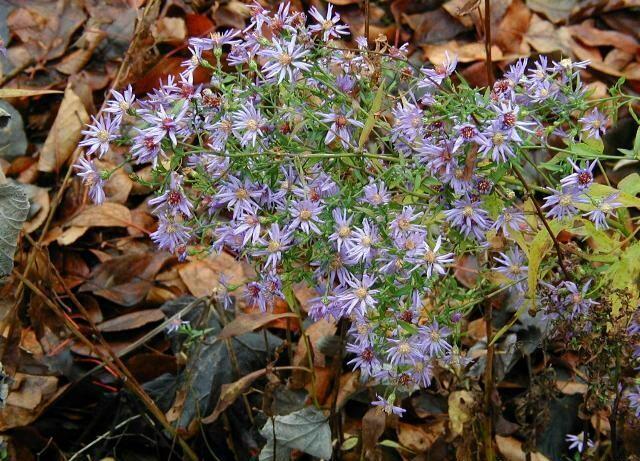 Blue Wood Aster - Aster cordifolius