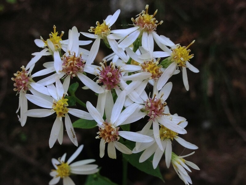 White Wood Aster - Aster divaricatus