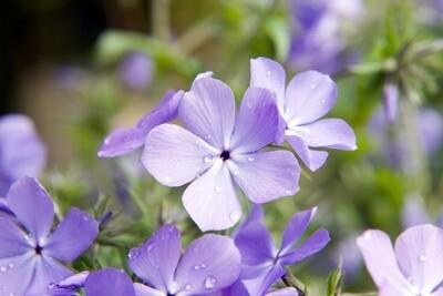 Wild Blue Phlox - Phlox divaricata 'Blue Moon'