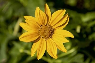 Oxeye Sunflower - Heliopsis helianthoides