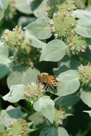 Clustered Mountain Mint - Pycnanthemum muticum