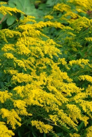 Sweet Goldenrod - Solidago odora