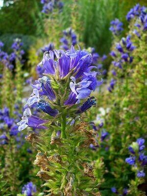 Great Blue Lobelia - Lobelia siphilitica