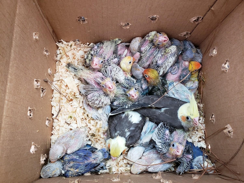 20 Lovebirds & 20 Cockatiels Babys Unweaned