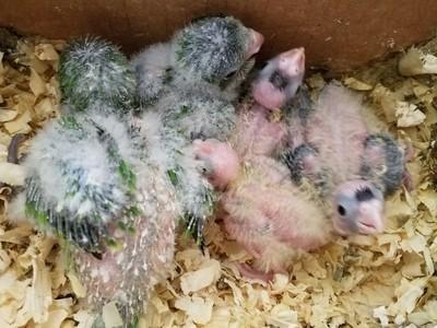 20 Baby Quakers / 20 baby Lovebirds / 20 Baby Cockatiels Unweaned