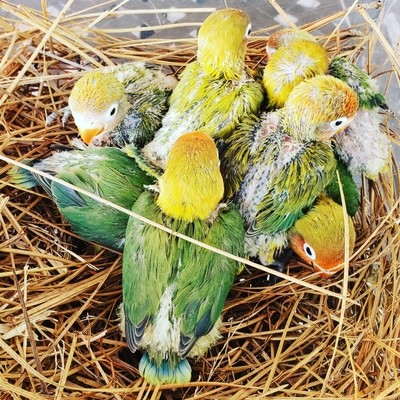 40 Unweaned Baby Lovebirds Mix Colors Package
