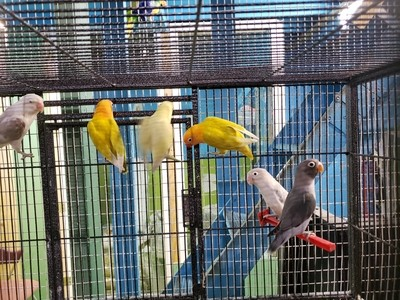 20 Adult Lovebirds mix colors Including Shipping and handling with delta airlines