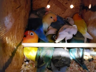 20 Adult Lovebirds mix colors including shipping and handling